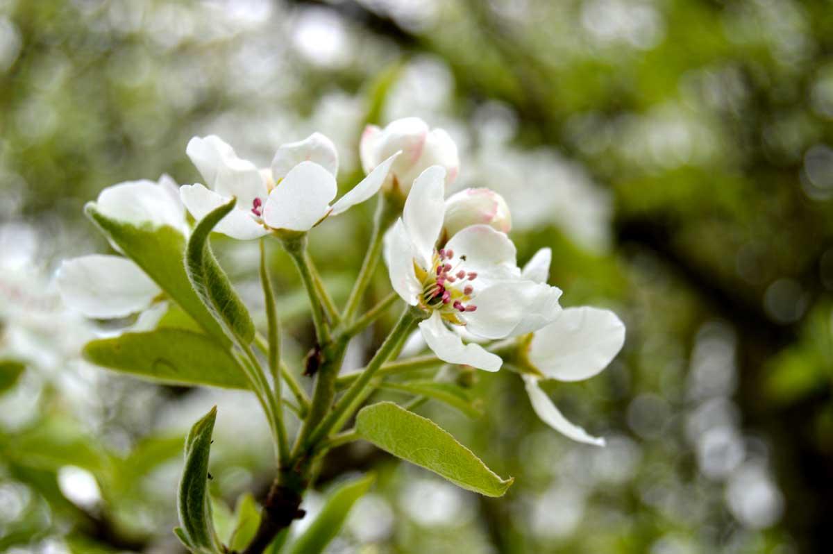 Fleurs-de-Poirier